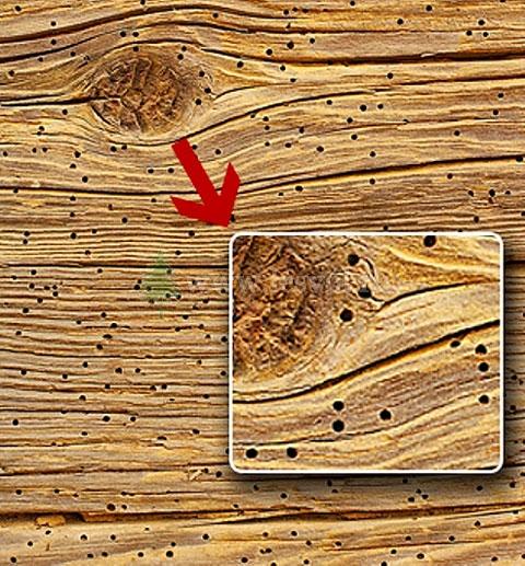 личинки в массивной доске
