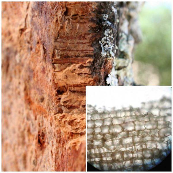 Структура пробкового дерева
