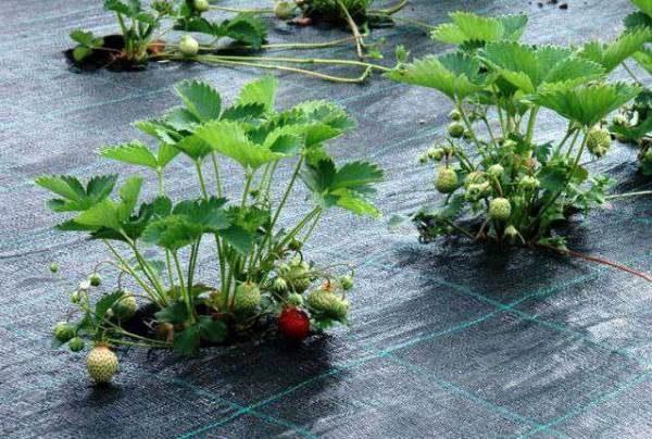 Защита от сорняков с помощью геотекстиля